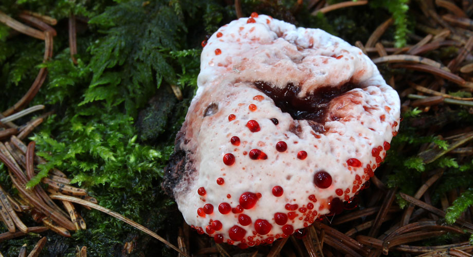 jamur bleeding tooth